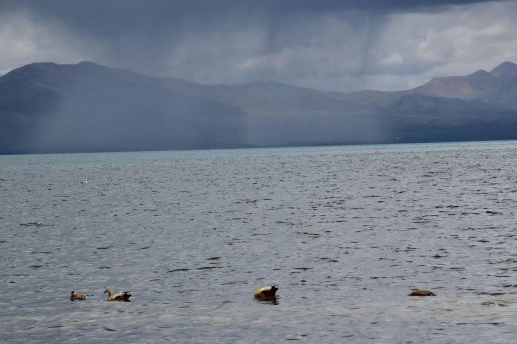 golden birds in lake mansarovar