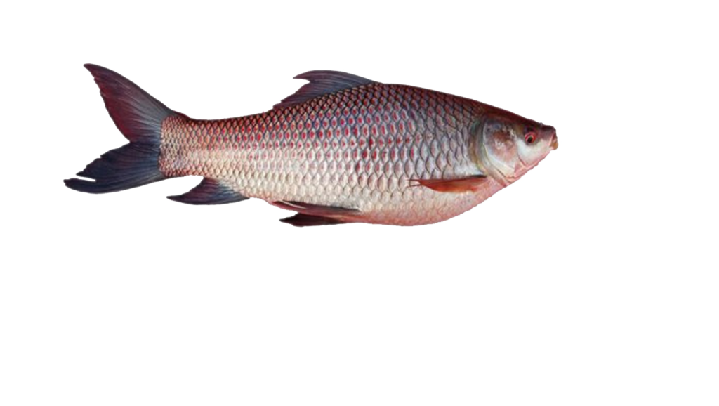 rohu fish of Assam ,good for beautiful complexion